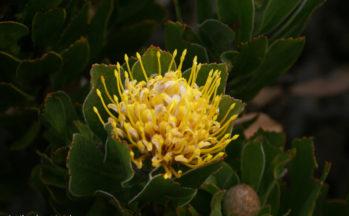 Presqu'île du Cap - Coussin d'épines jaune (Afrique du Sud)