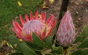 Franschhoek - Protea (Afrique du Sud)