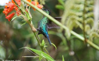 Colibri (Costa Rica - Volcan Poas)