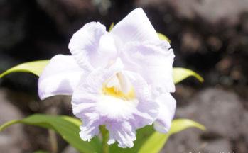 Orchidée sopralia (Costa Rica - Volcan Arénal)