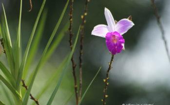 Orchidée bambous (Costa Rica - vers Tortuguero, Rio San Juan)