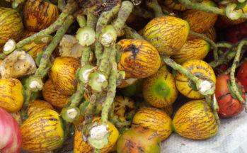 Pejibaye ou palmier pêche (Costa Rica - Puerto Limon)