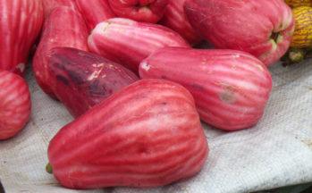 Pommes d'eau (Costa Rica - Puerto Limon)