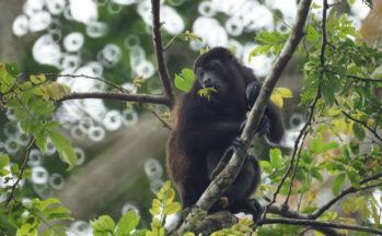 En direction de Cahuita - Singe hurleur (Costa Rica)