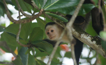 Parc National de Cahuita - Singe capucin moine (Costa Rica)