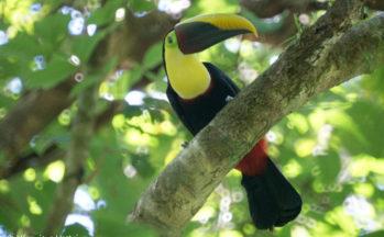 Parc Corcovado - Toucan Swainson (Costa Rica)
