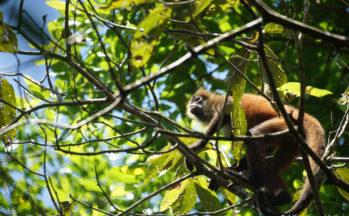 Parc Corcovado - Singe araignée (Costa Rica)