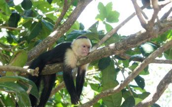 Parc Manuel Antonio - Singe capucin moine (Costa Rica)