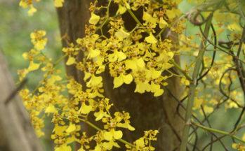 Orchidée (Equateur - Banos, Cascade du diable)