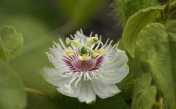 Fleur de la passion (Ile Isabella - Galapagos/Equateur)