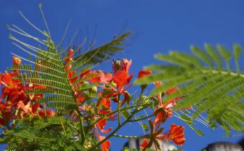 Flamboyant (Ile Santa Cruz - Galapagos/Equateur)