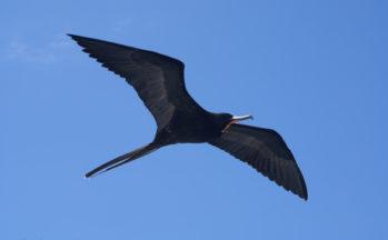 Frégate mâle, Vers l'île Bartholomé (Equateur/Galapagos)
