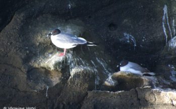 Mouettes à queue d'arronde, Ile Daphnée (Equateur/Galapagos)