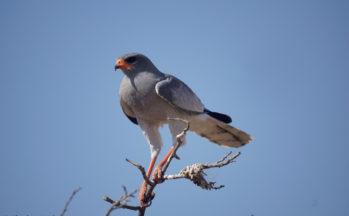 Kalahari, Autour chanteur pâle (Botswana)