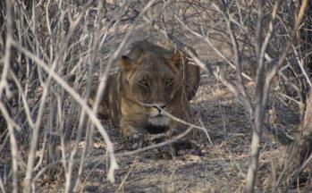 Kalahari, Lionne aux aguets (Botswana)