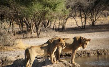 Kalahari, Lionnes (Botswana)