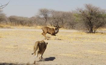 Kalahari, Lionne chassant un koudou (Botswana)