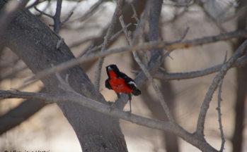 Kalahari, Gonolek rouge et noir (Botswana)