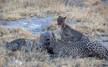 Kalahari, Guépard femelle et ses petits mangeant un lièvre (Botswana)