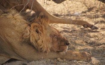 Kalahari, Lion avec sa proie - koudou - (Botswana)