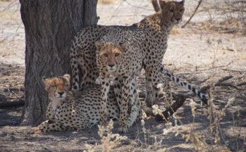 Kalahari, Guépards (Botswana)