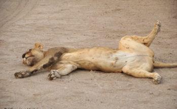 Kalahari, Lionne (Botswana)