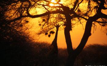 Kalahari, Coucher du soleil avec une girafe (Botswana)