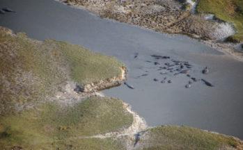 Delta de l'Okavango, Survol - Hippopotames (Botswana)