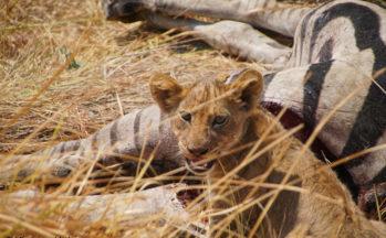 Okavango - Moremi, Lionceau dégustant un zèbre (Botswana)
