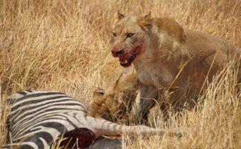 Okavango - Moremi, Lionne mangeant un zèbre (Botswana)
