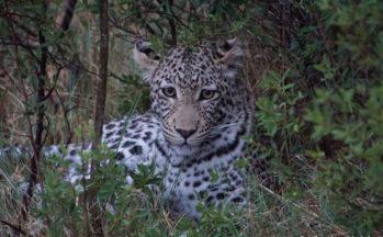 Okavango - Moremi, Léopard - jeune mâle de 14 mois - (Botswana)