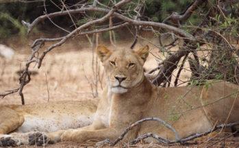 Chobe, Lionnes (Botswana)