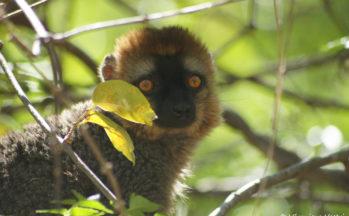 Parc de l'Isalo - Eulemur Fulvus Rufus - Lémur à front roux (Madagascar)