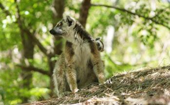Parc de l'Isalo - Lémur Catta (Madagascar)