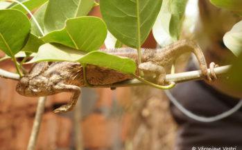 Ambalavao - Caméléon Furcifer oustaleti (Madagascar)