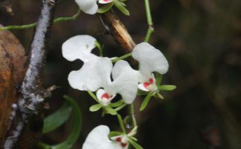 Orchidée Oeonia rosea (Madagascar - Ranomafana)