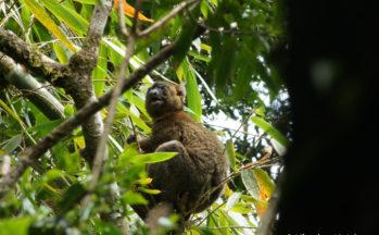 Ranomafana - Hapalemur sinus (Madagascar)