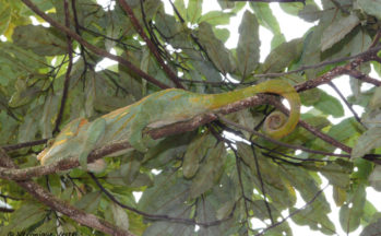 Ranomafana - Caméléon Furcifer oustaleti (Madagascar)