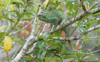 Ranomafana - Caméléon mâle Furcifer labordi (Magadascar)