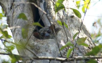 Ankaranfantsika - Lepilemur dorsalis - Lémurien sportif (Madagascar)
