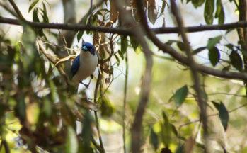 Ankaranfantsika - Artamie azurée (Madagascar)