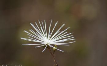 Fleur (Ankaranfantsika - Madagascar)