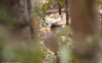Ankaranfantsika - Coua à tête rousse (Madagascar)