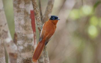 Ankaranfantsika - Gobe mouche du paradis de Madagascar (Madagascar)