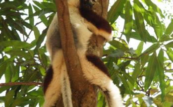 Ankaranfantsika - Propithecus verreauxi coquereli - Sifaka (Madagascar)