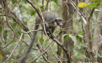 Ankaranfantsika - Lémur Mongoz (Madagascar)