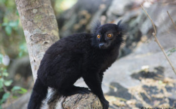 Nosy Komba - Eulemur macaco macaco - Lémur noir mâle (Madagascar)