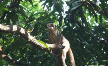 Nosy Tanikely - Eulemur fulvus fulvus - Maki brun (Madagascar)