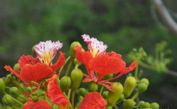 Flamboyant (Ankify - Madagascar)