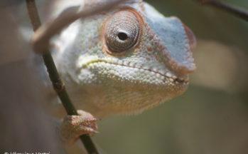 Ankarana - Caméléon furcifer pardalis (Magadascar)
